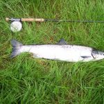 Photo of sea-liced salmon and rod