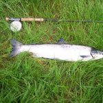 Photo of sea-liced salmon and rod